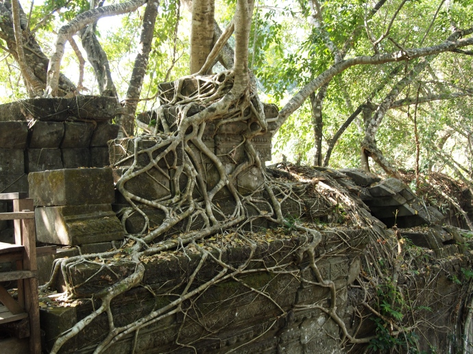 beng mealea in the grasp of octopus roots