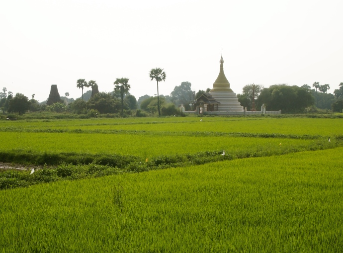 rice fields and pagoda
