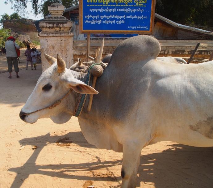 half an ox