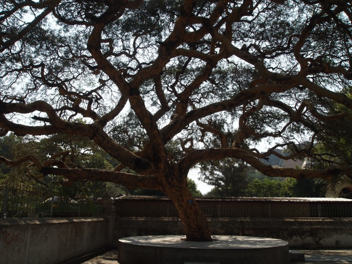 tree on the grounds of the Mingun Bell