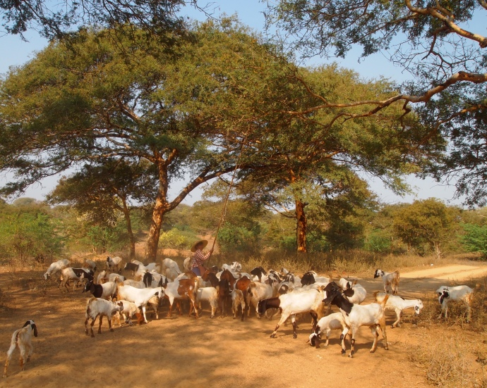 goats on the plains in Bagan